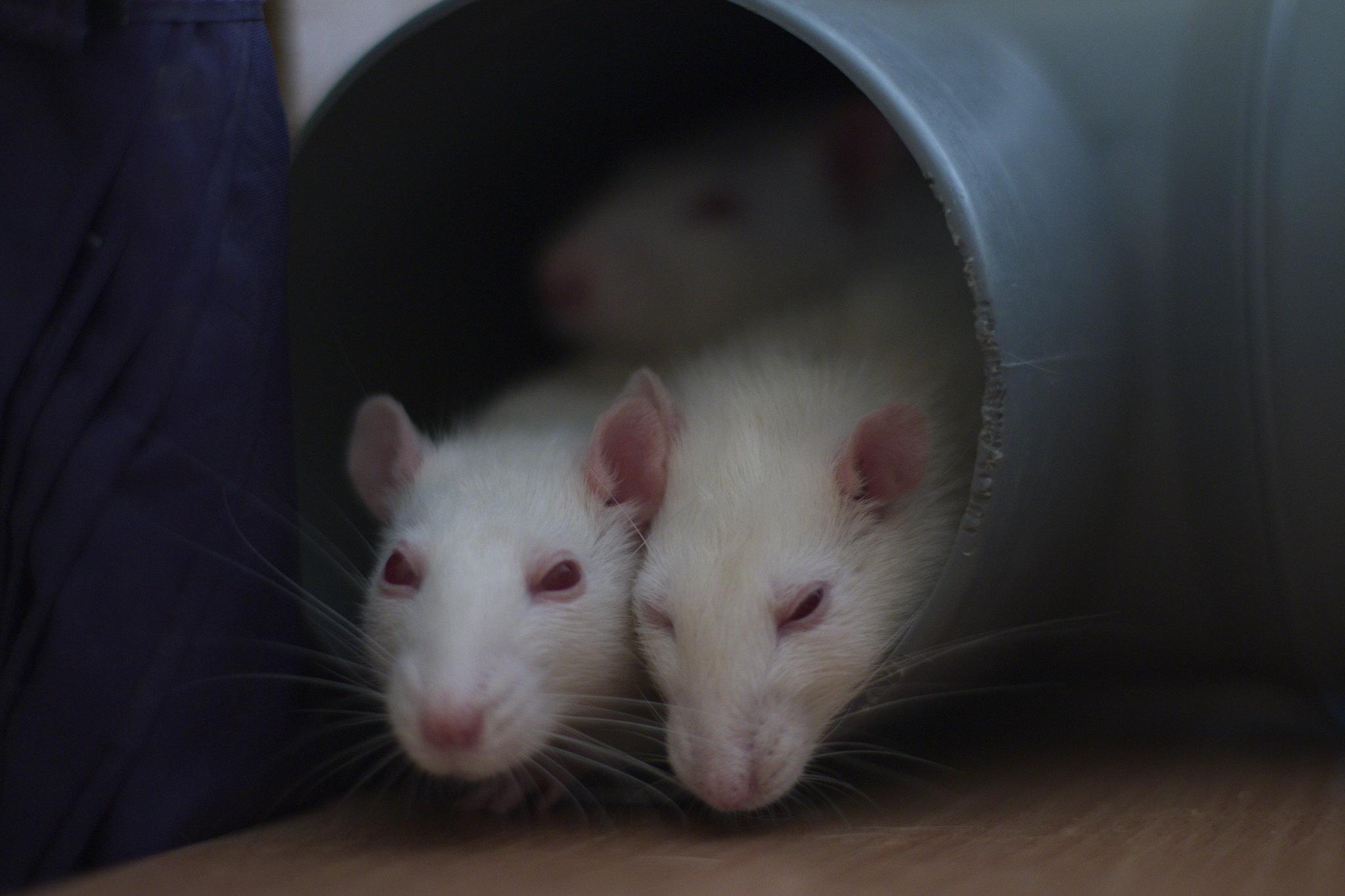 Наука крыс