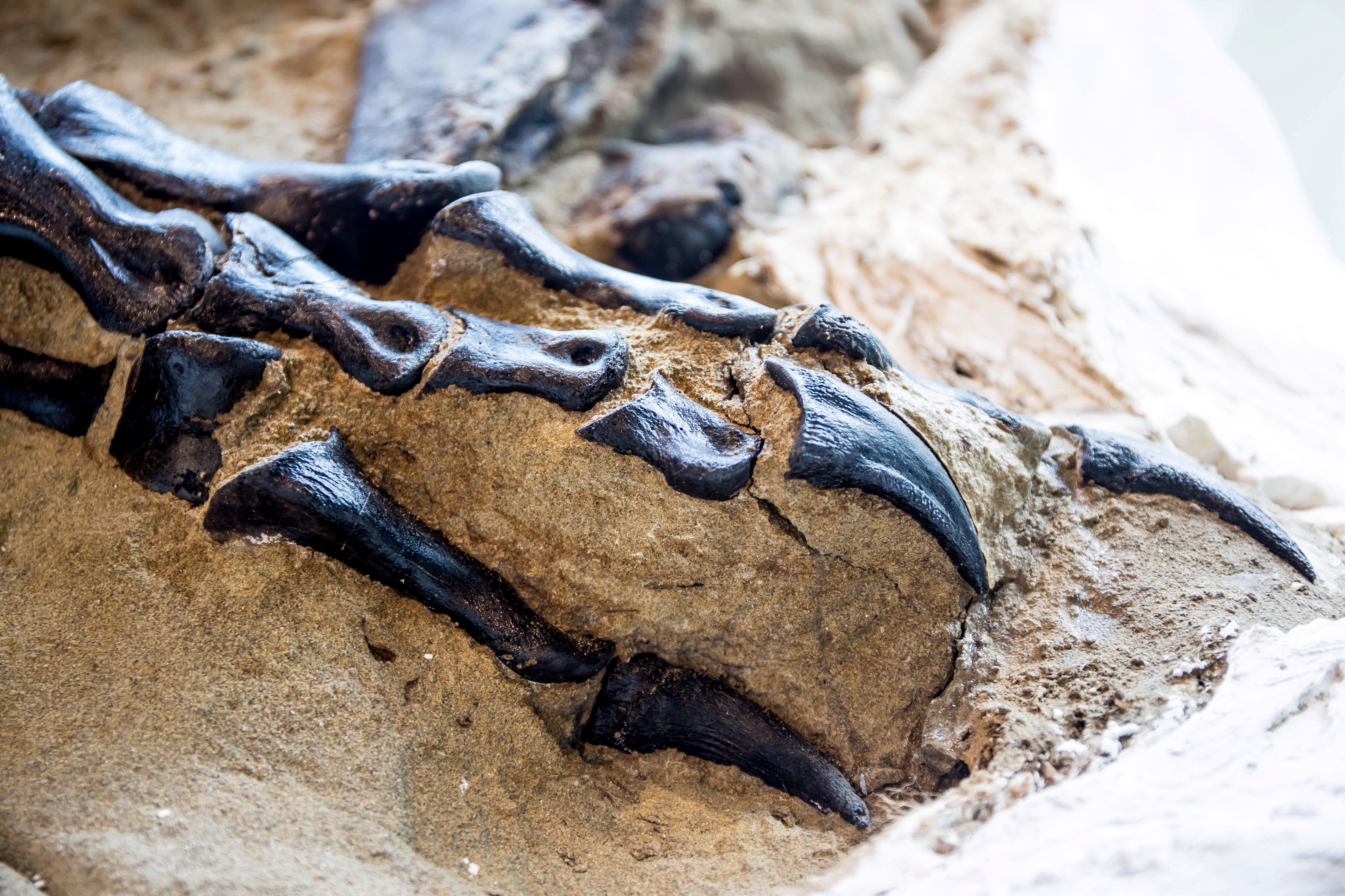 Первый полный скелет тираннозавра показали публике — ящер погиб в схватке с трицератопсом