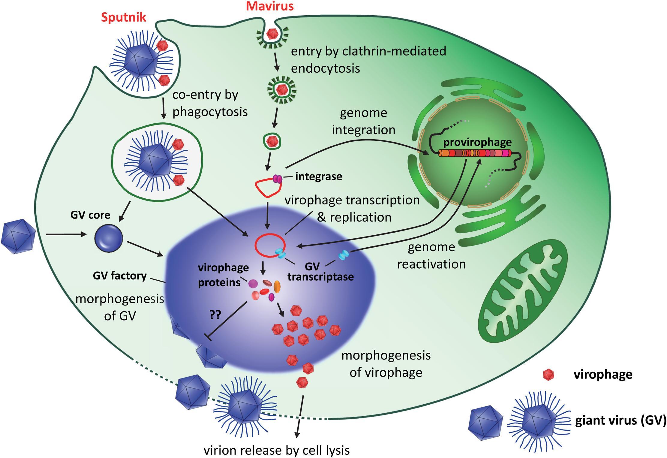 У гигантских вирусов нашли антивирусную систему