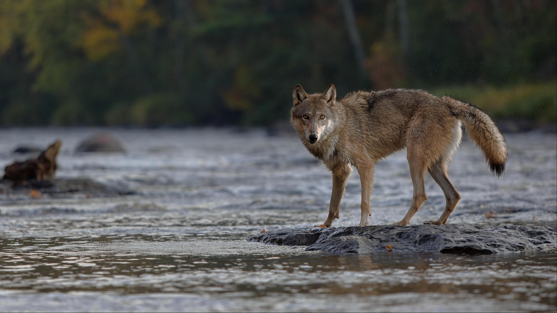 Изменят ли волки и львы течение рек?
