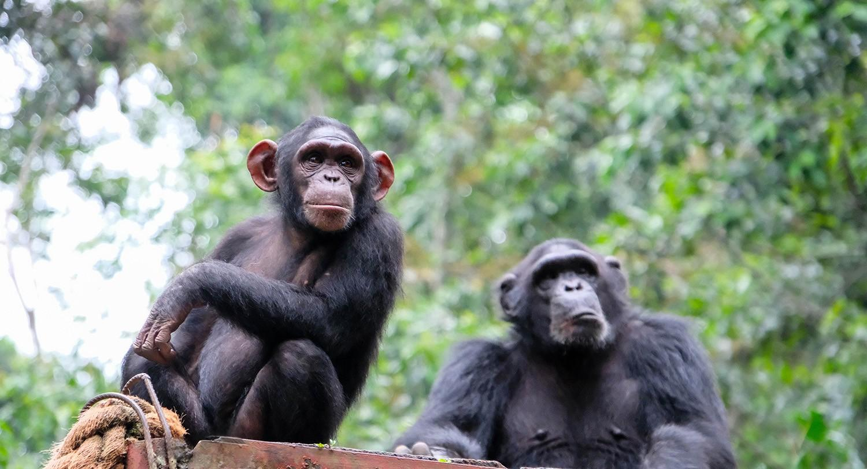 Шимпанзе, гены и социализация