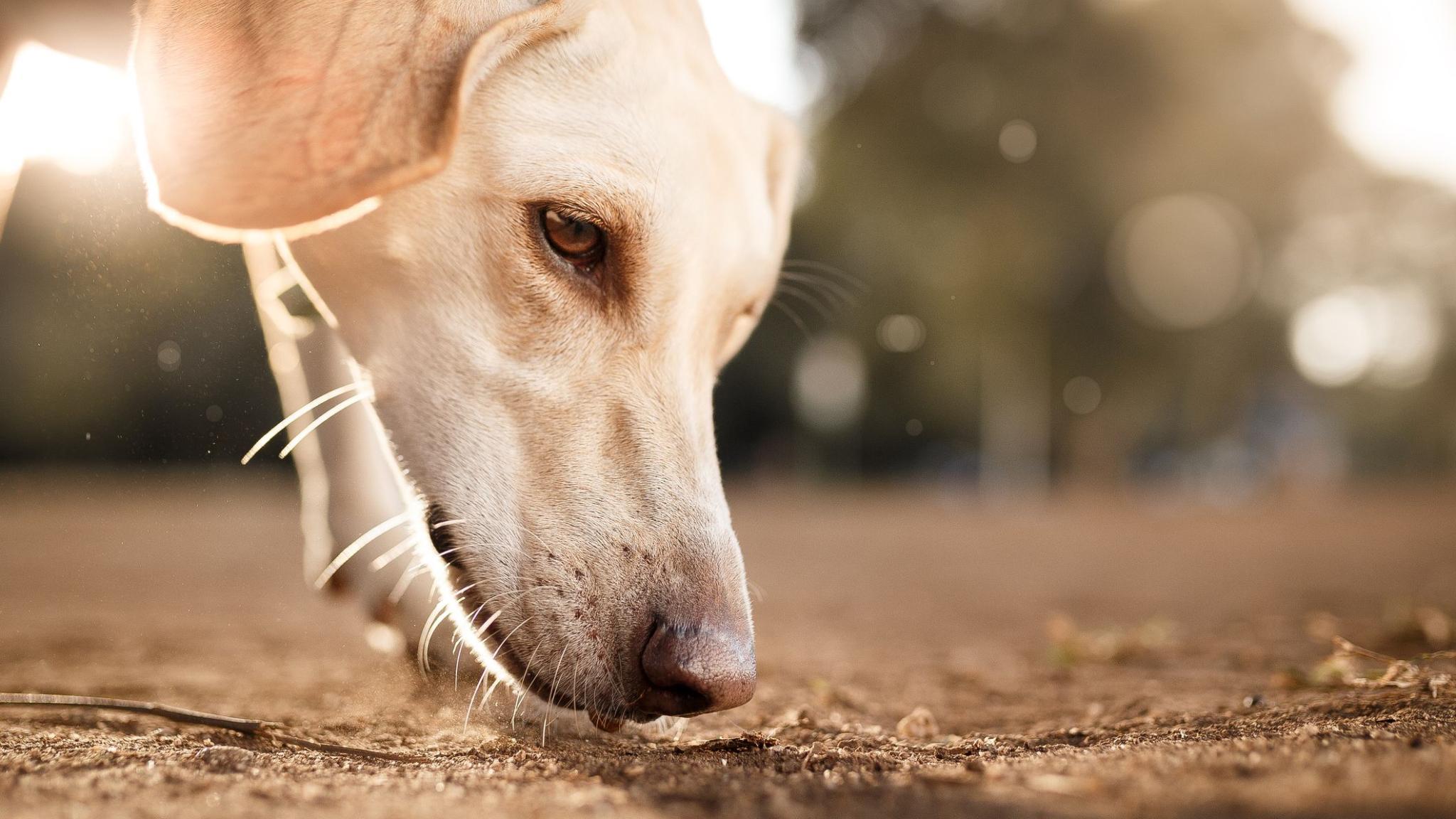 Собаки оказались способны «диагностировать» Covid-19
