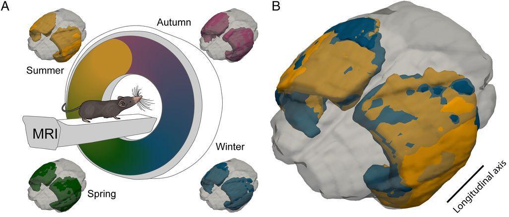 Отрастить часть мозга к лету и избавиться от нее зимой? Возможно!