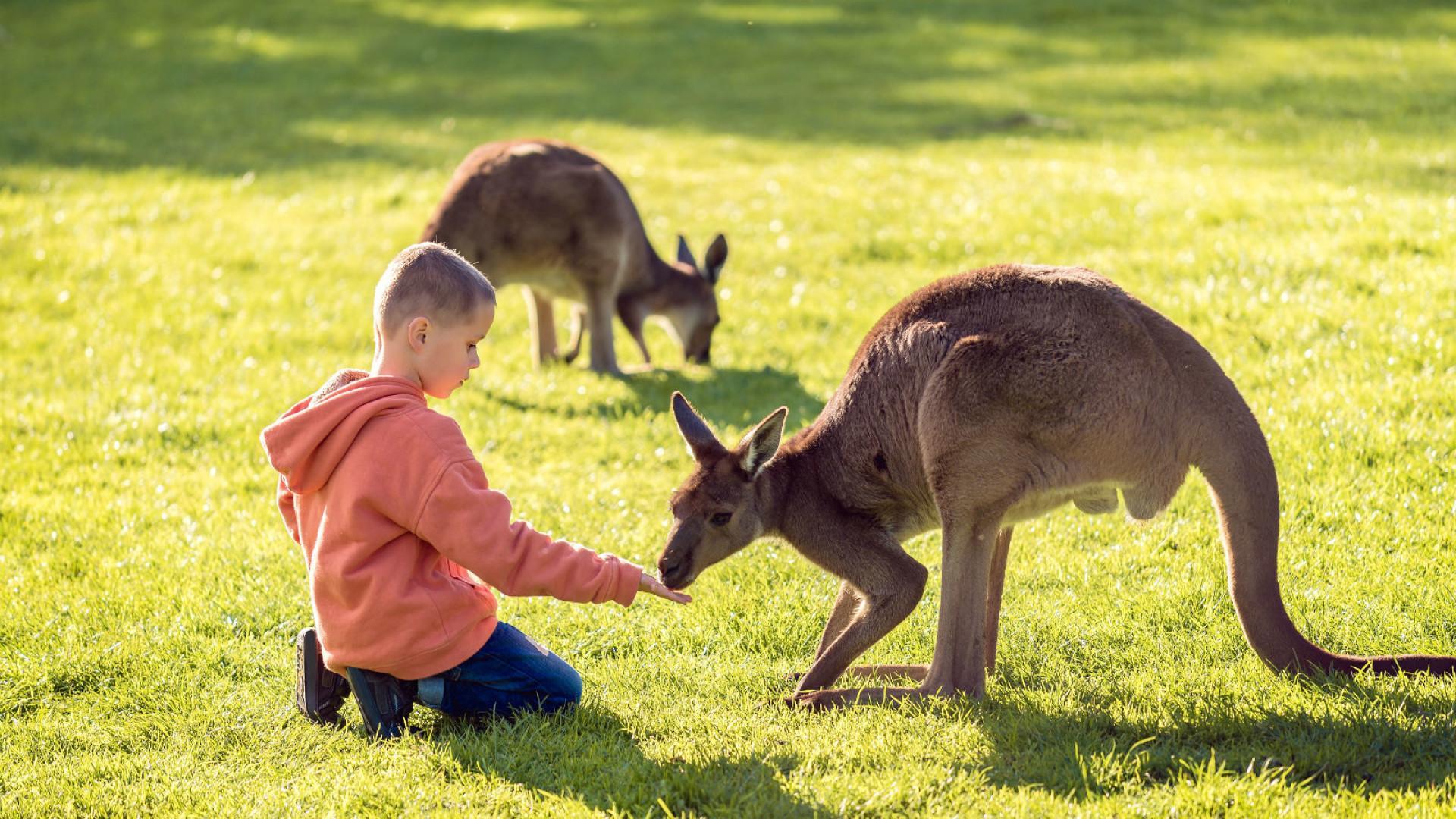 Показано, что кенгуру могут «общаться» с людьми