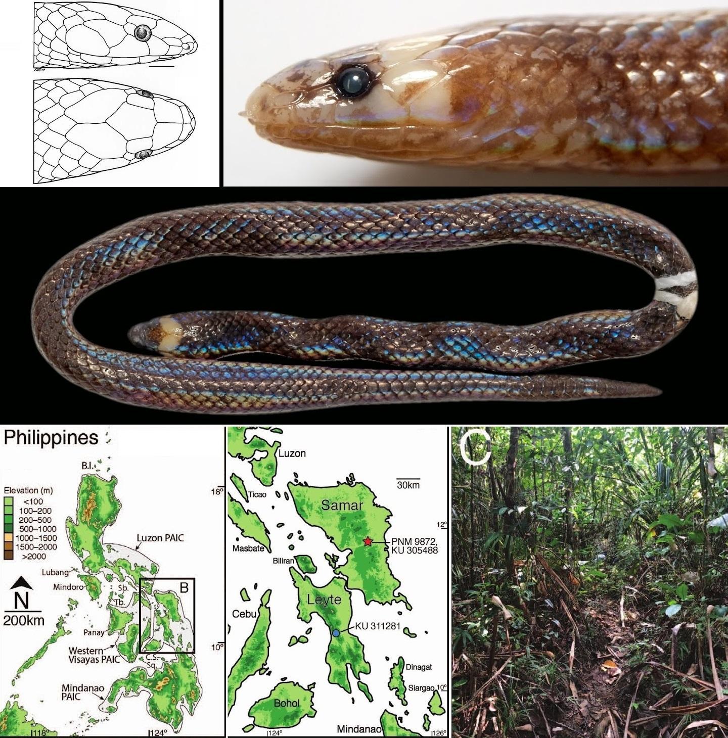 Герпетологи описали новый род и вид миниатюрных роющих змей с Филиппин