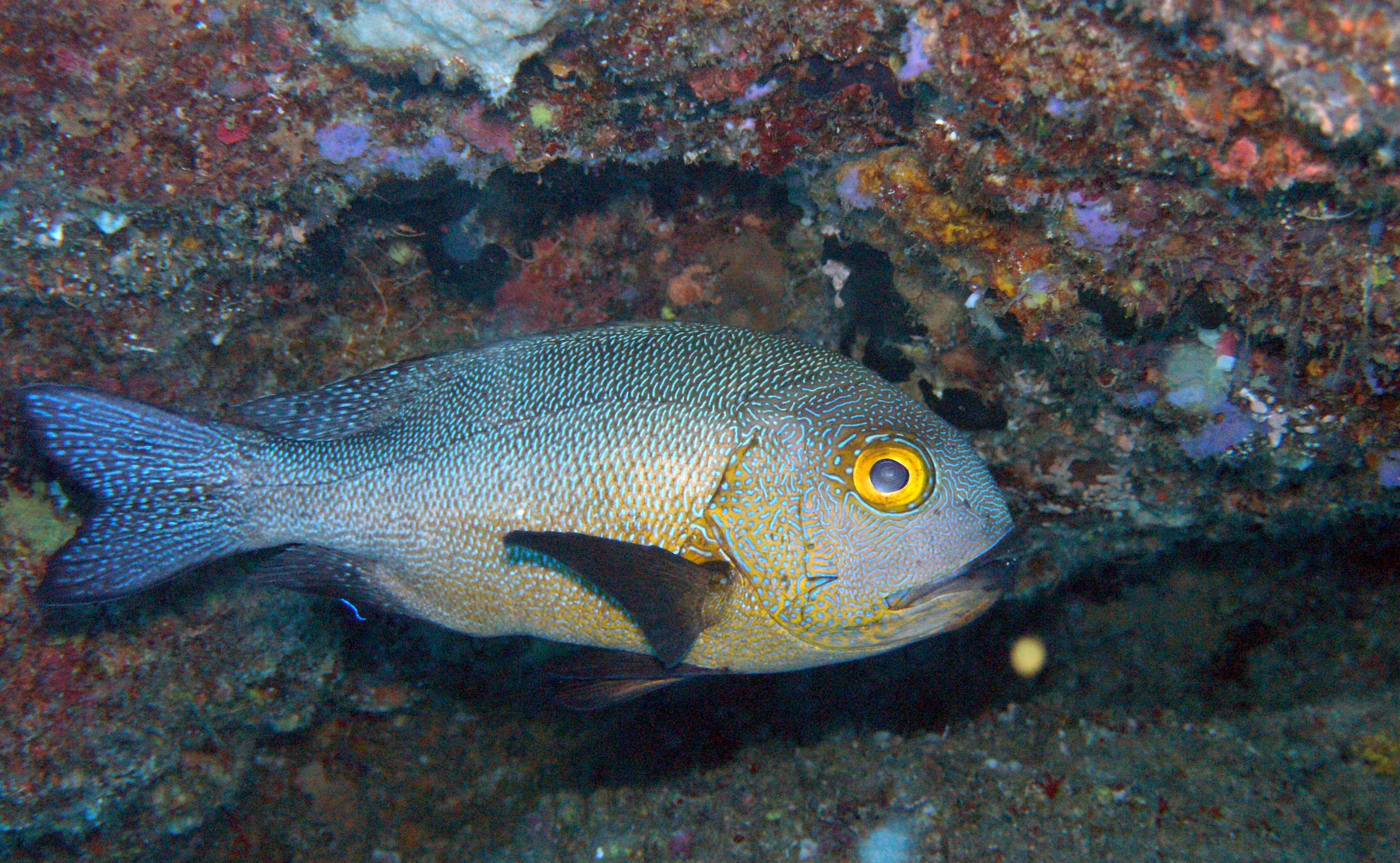 У побережья Австралии обнаружили старейшую рифовую рыбу