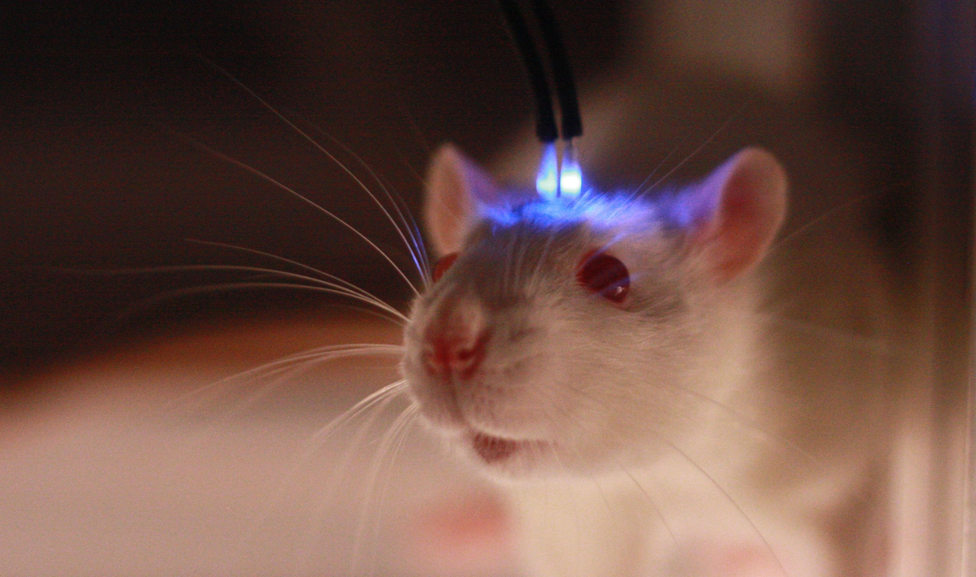 Свет сильнее алкоголя: как свет ослабляет память об испуге у «пьяных» и обычных мышей