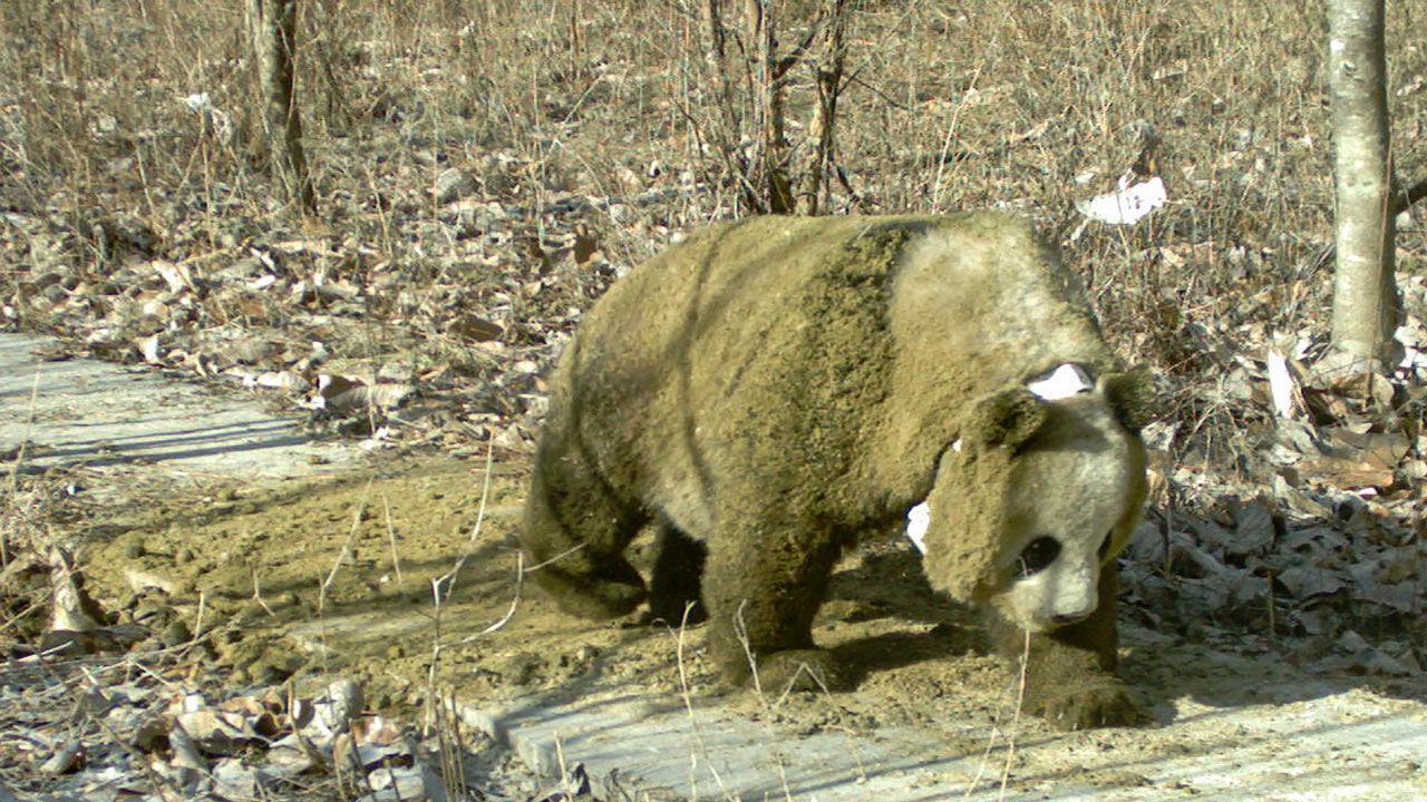 Панды научились обмазываться навозом, чтобы легче переносить холод