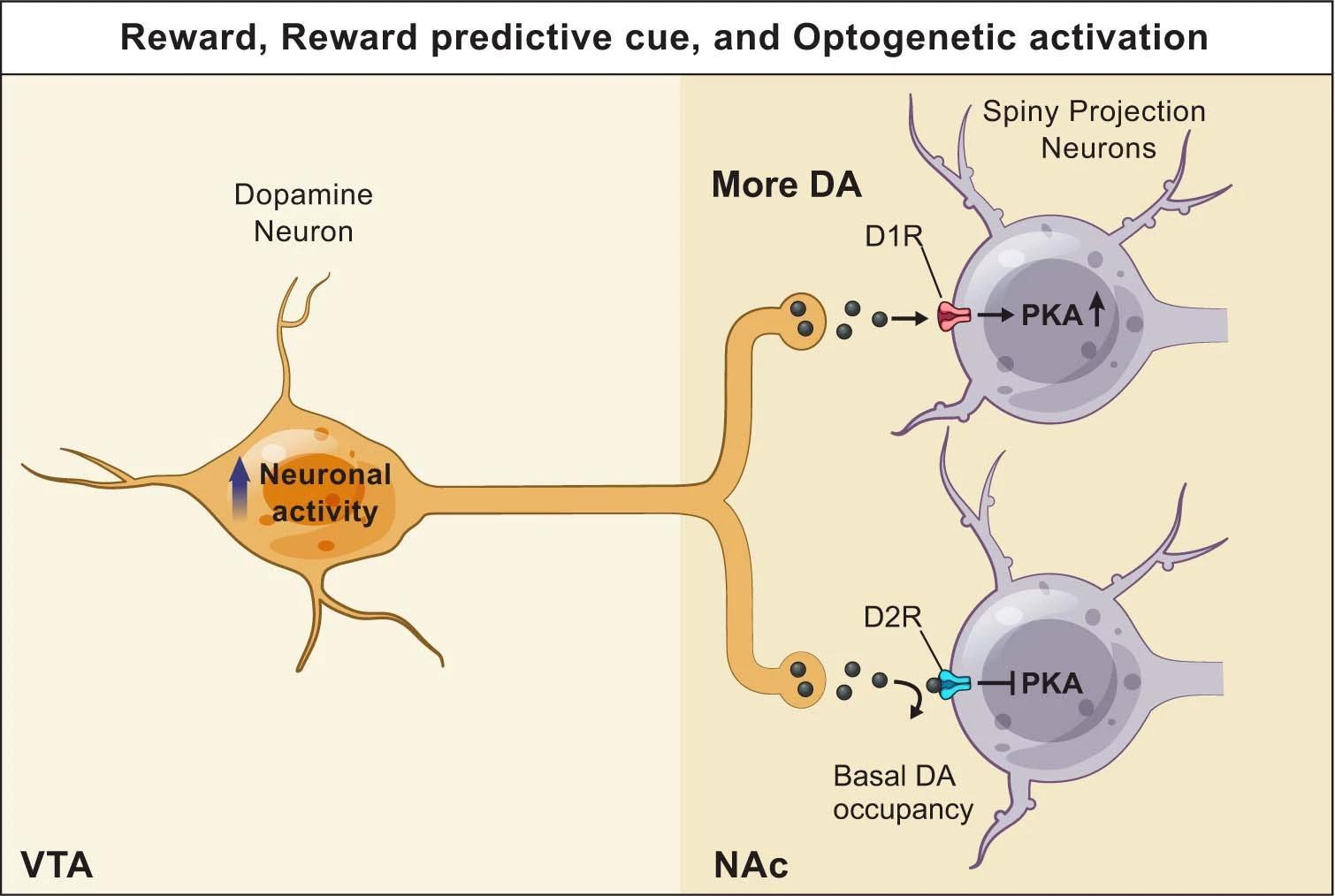 Дофамин вызвал разные эффекты у мышей в начале и конце обучения