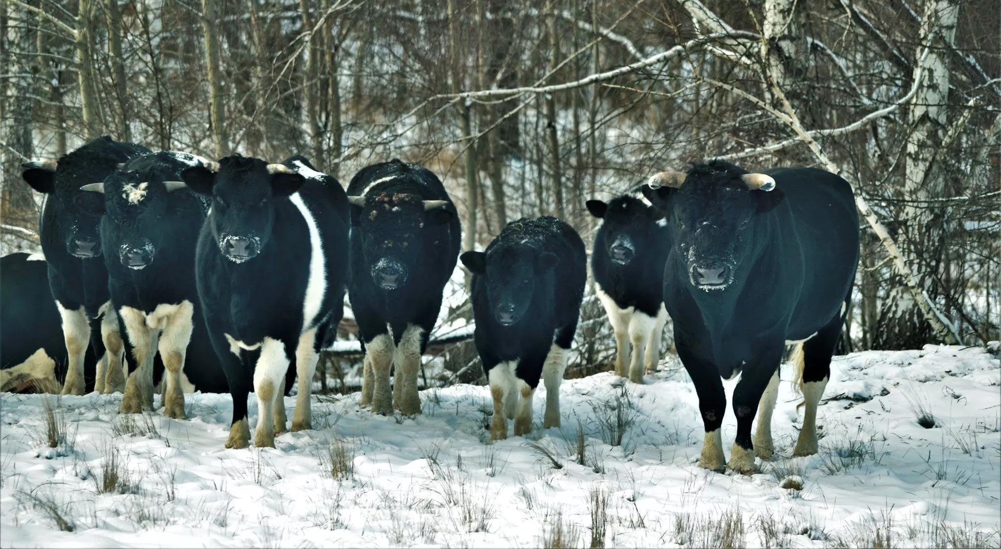 Одичавшие коровы Чернобыльской зоны отчуждения организовали стадо и ведут себя как дикие предки