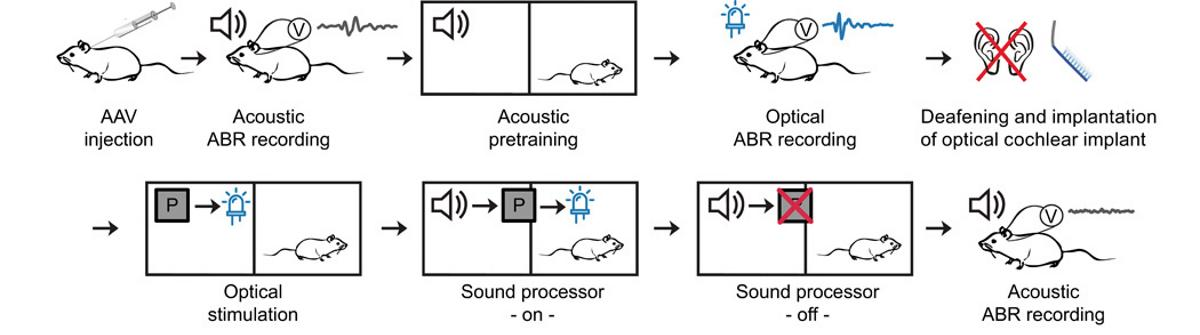 Светодиодная лента заменила глухим крысам слуховой аппарат
