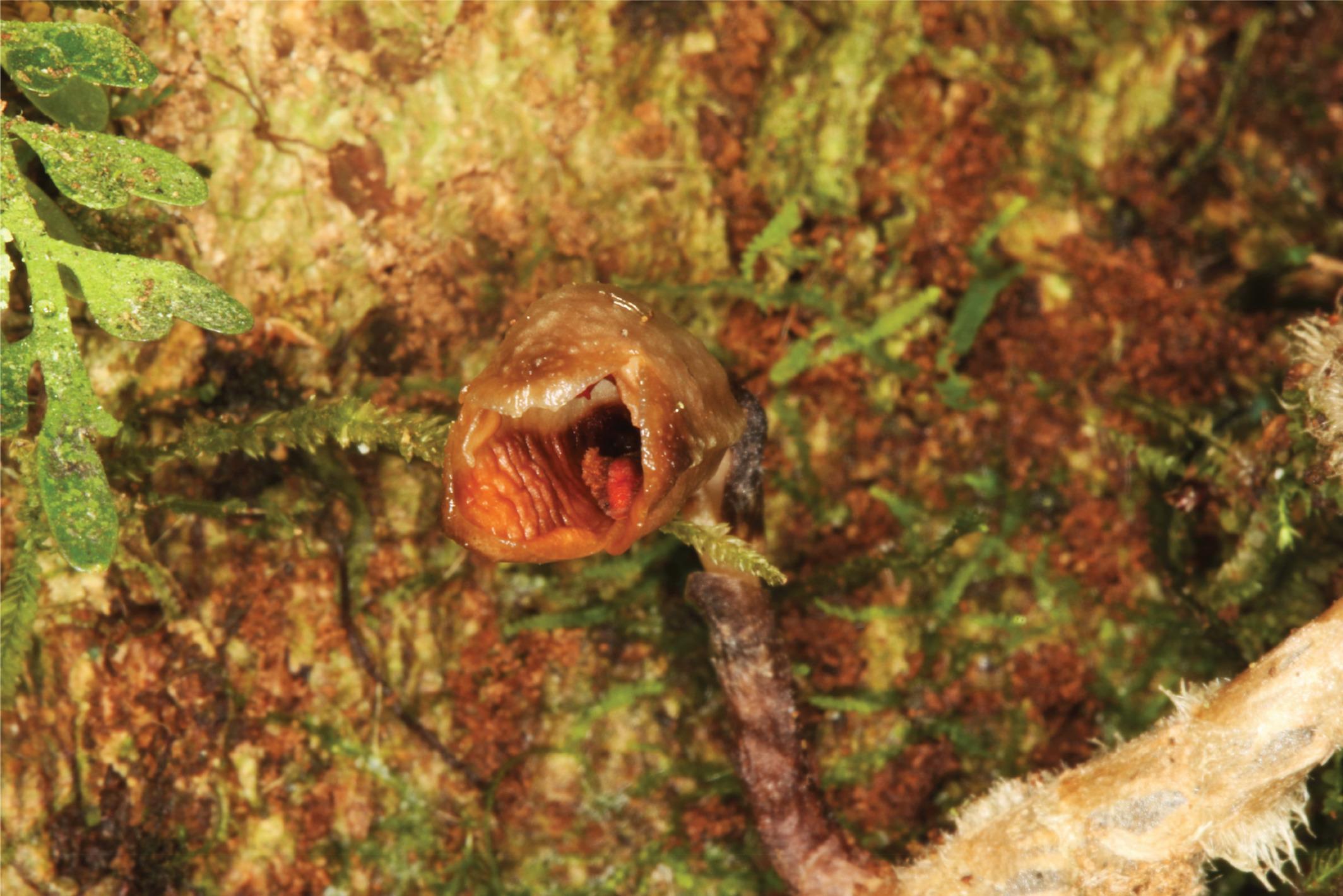 Ботаники описали новый вид подземных орхидей с Мадагаскара