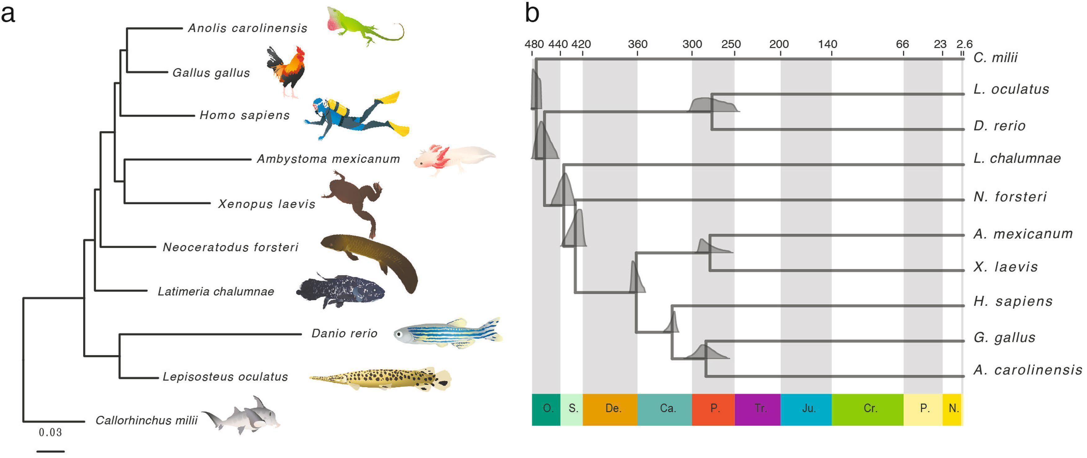 Прочтён геном «переходного звена» между рыбами и земноводными