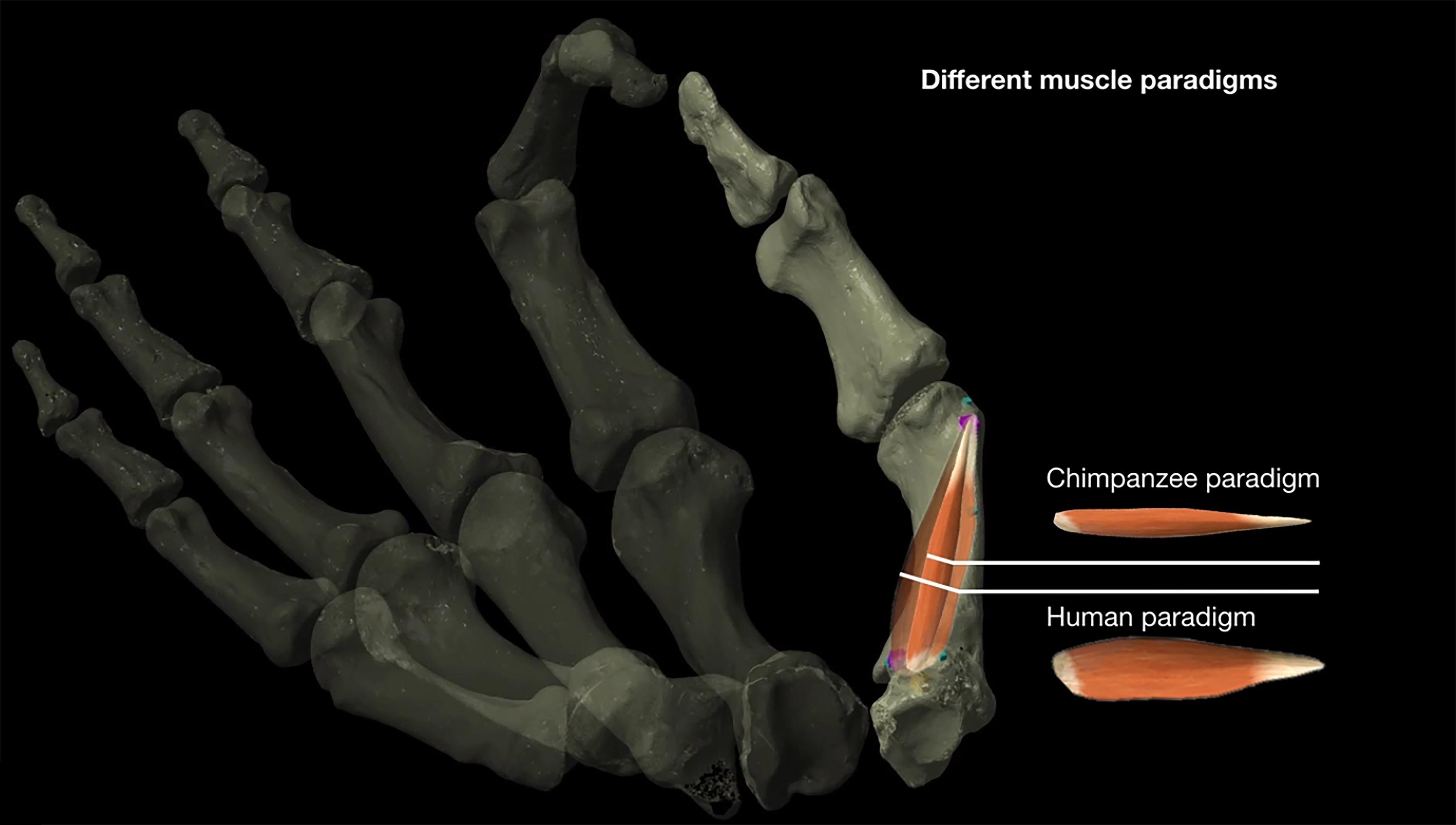 Предки могли делать каменные орудия задолго до того, как их кисть стала человеческой