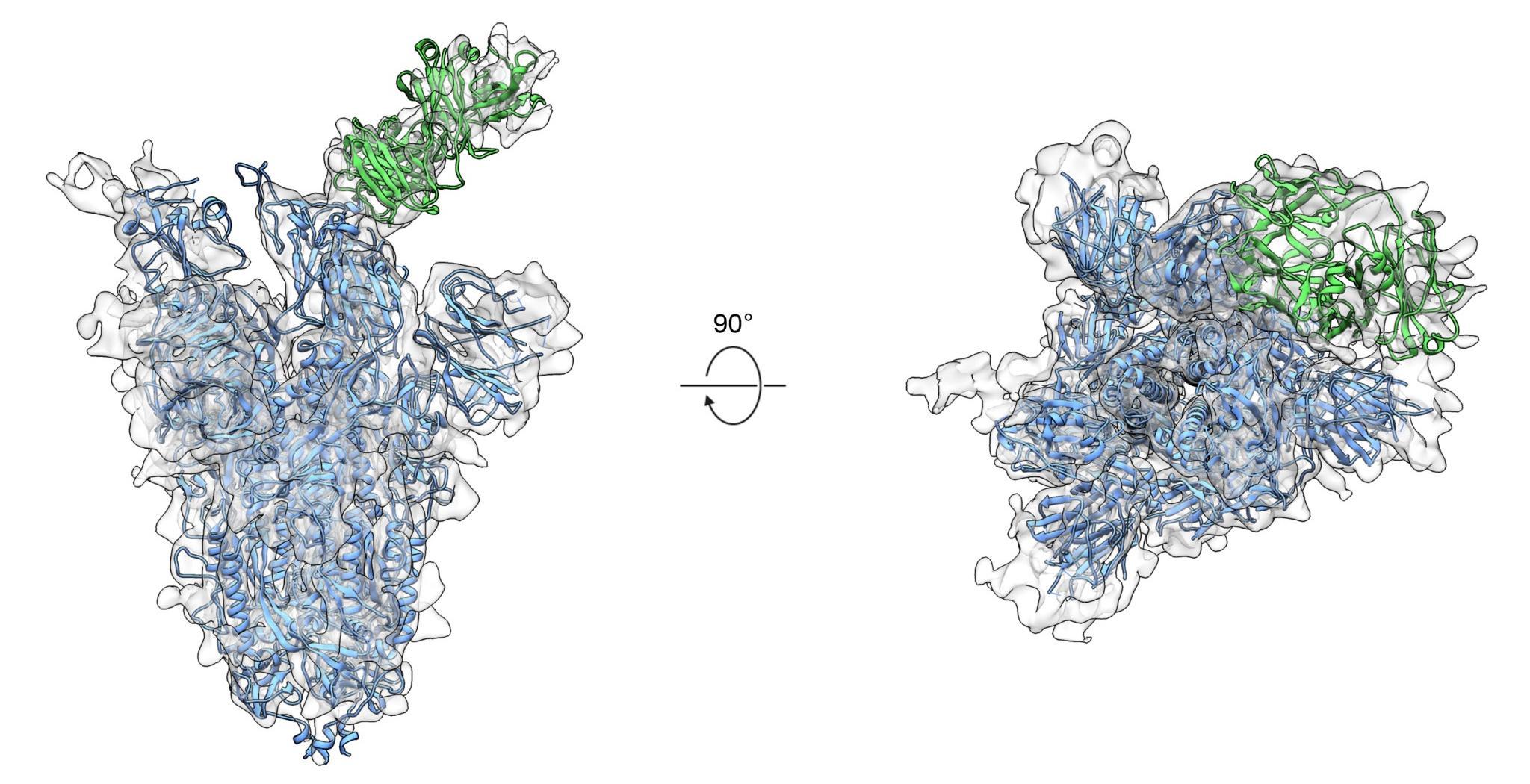 Разработано универсальное антитело, способное защитить человека от вируса SARS-CoV-2, большинства его «родственников» и их возможных мутаций