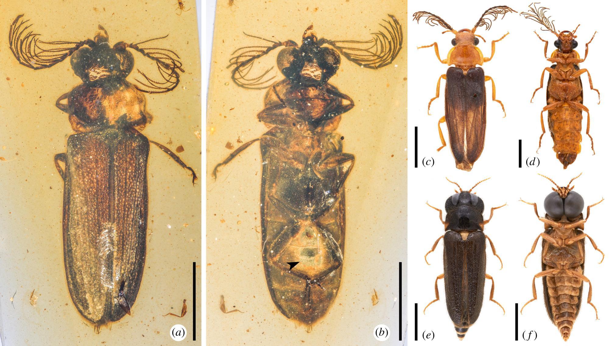 Светящиеся жуки появились уже 99 миллионов лет назад