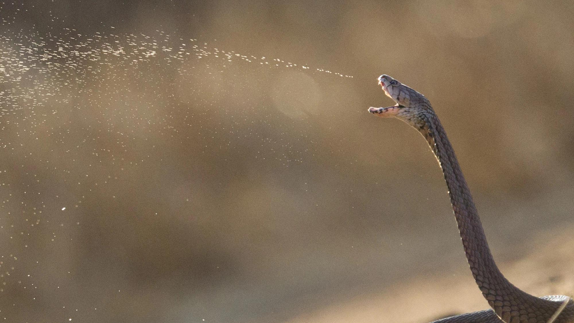Три группы плюющихся кобр приобрели более болезненный яд независимо друг от друга