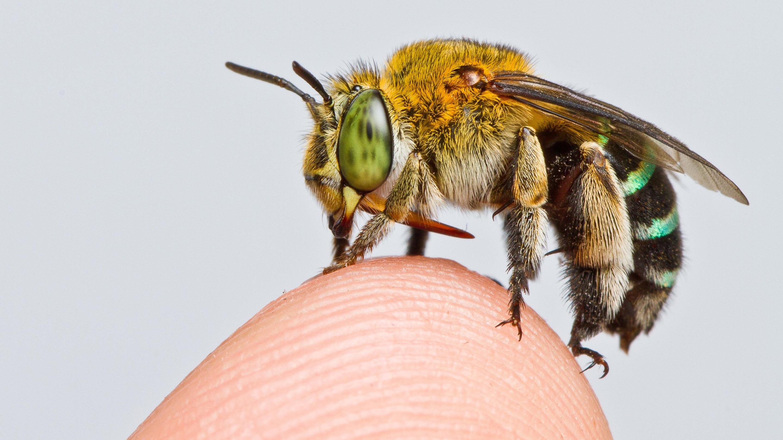 Разнообразие пчёл угрожающе сокращается