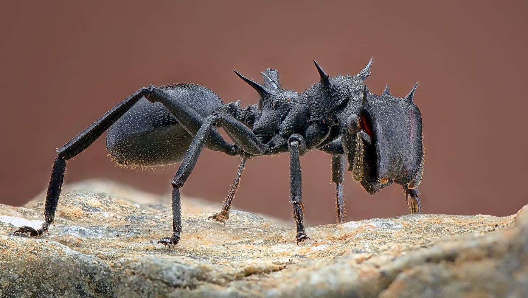 Кишечные бактерии помогают муравьям наращивать толстую броню
