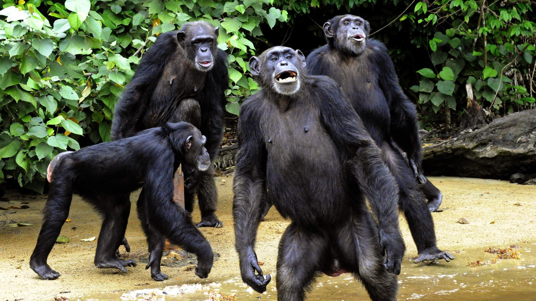 Шимпанзе, как и люди, объединяются против общего врага