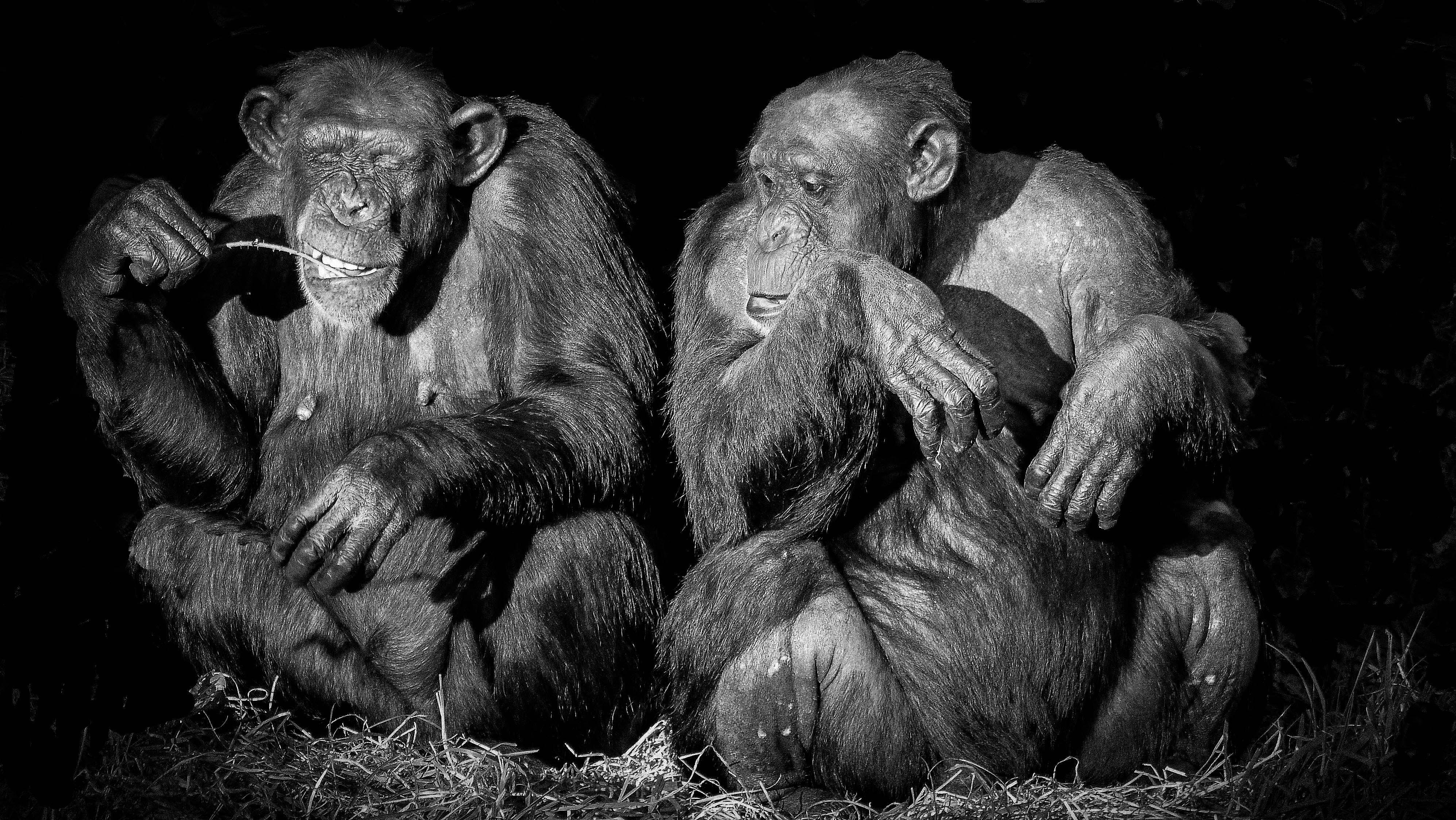 Новая бактерия убивает шимпанзе, но неопасна для человека. Пока