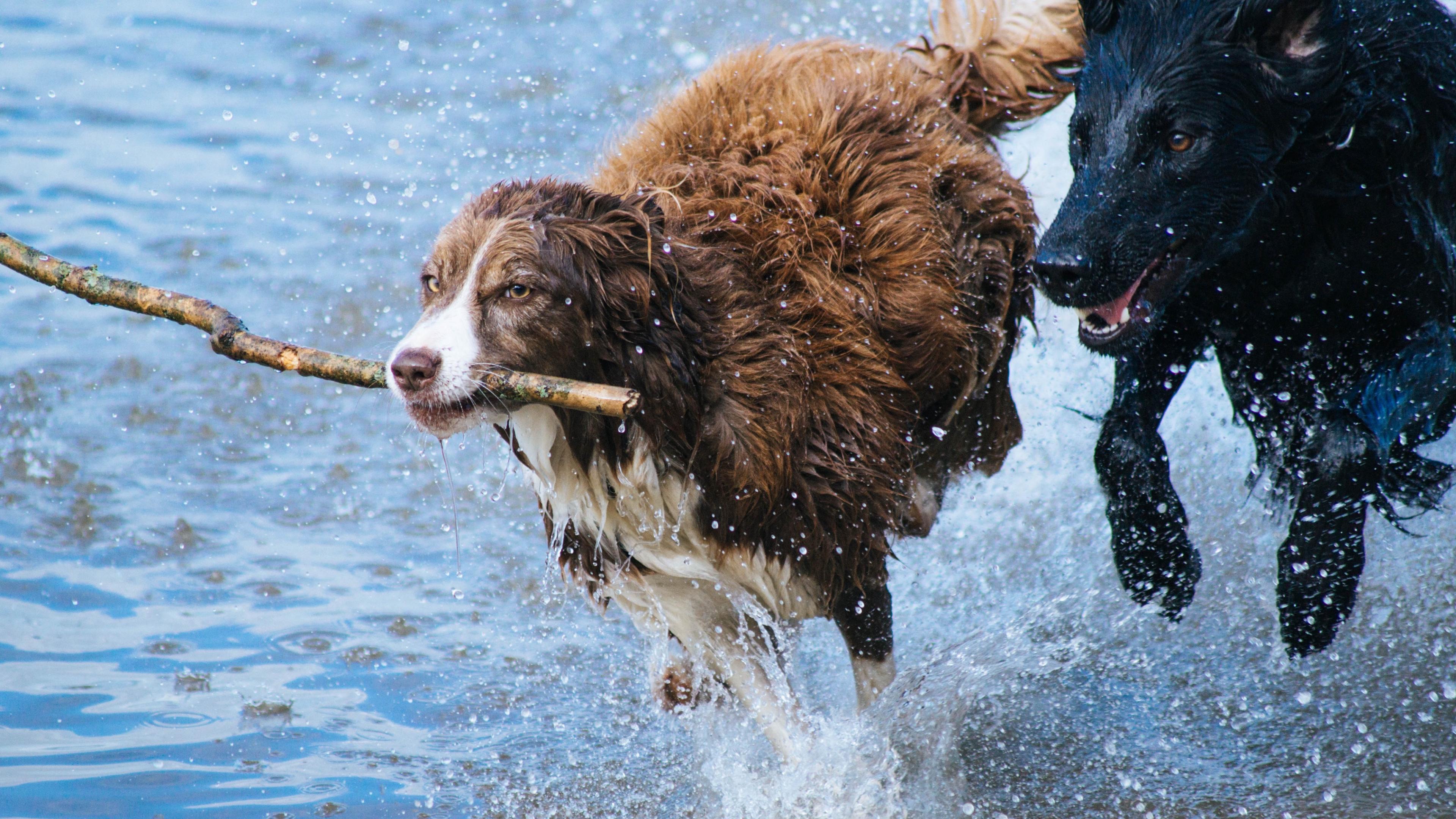 Собаки играют друг с другом более увлеченно, если на них смотрит хозяин