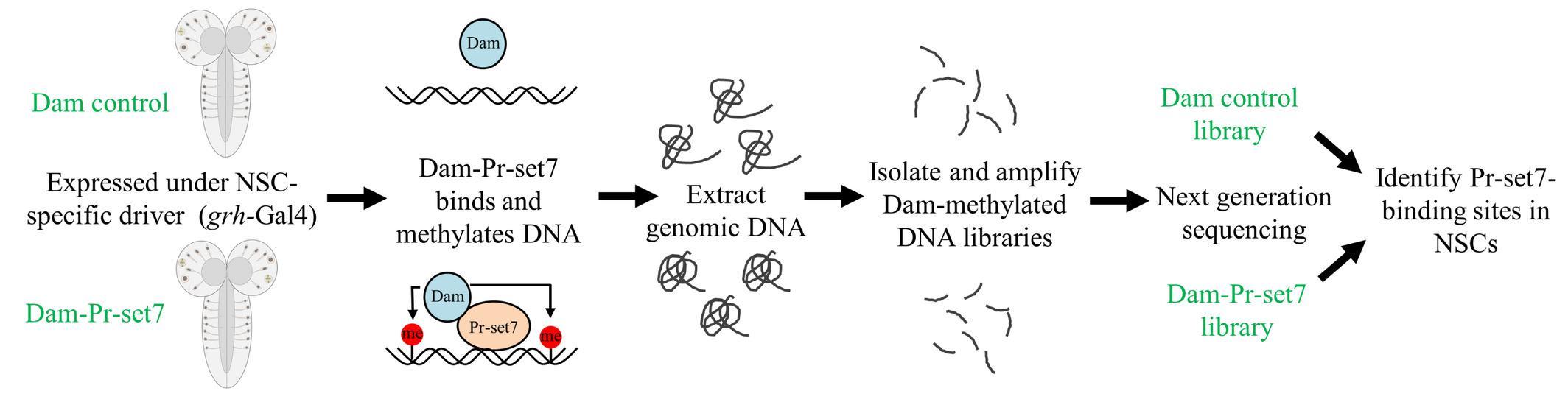 Как фермент пробуждает стволовые клетки мозга