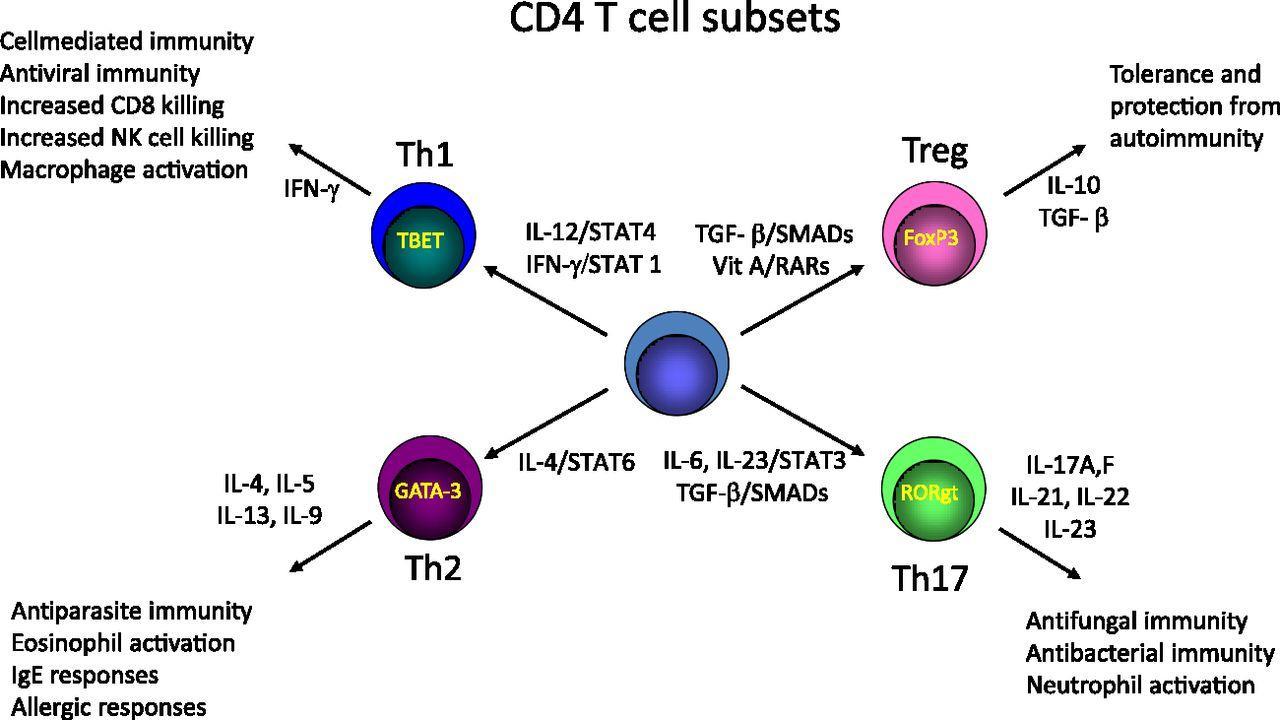 Как T-клетки регулируют кратковременную память
