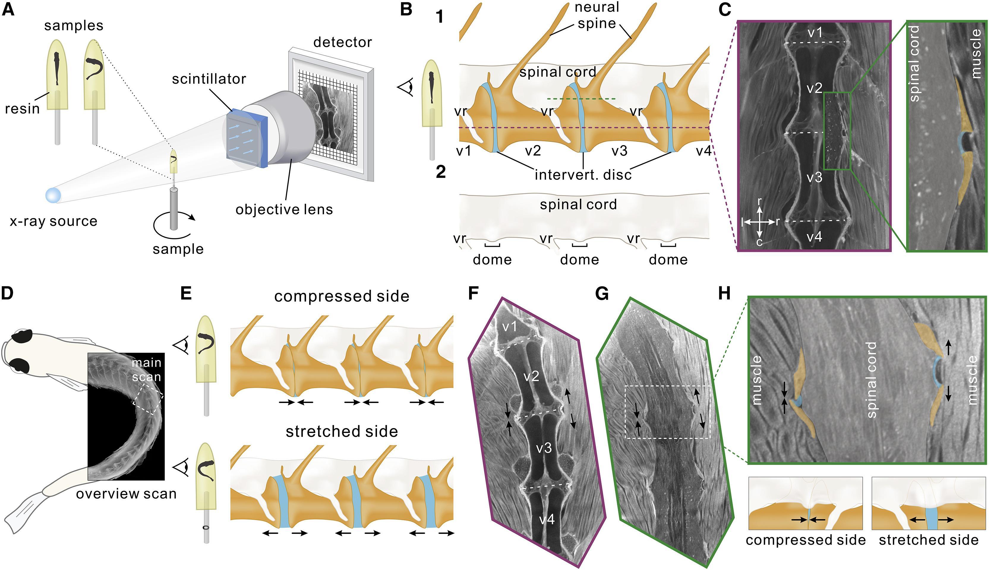 Биологи обнаружили орган проприорецепции в спинном мозге данио-рерио