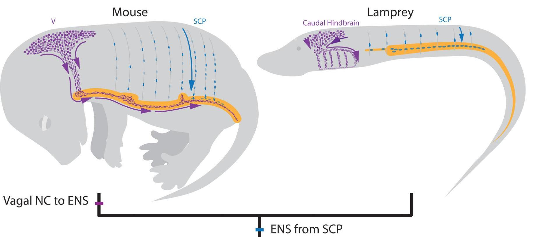 Откуда в кишечнике взялись нейроны?