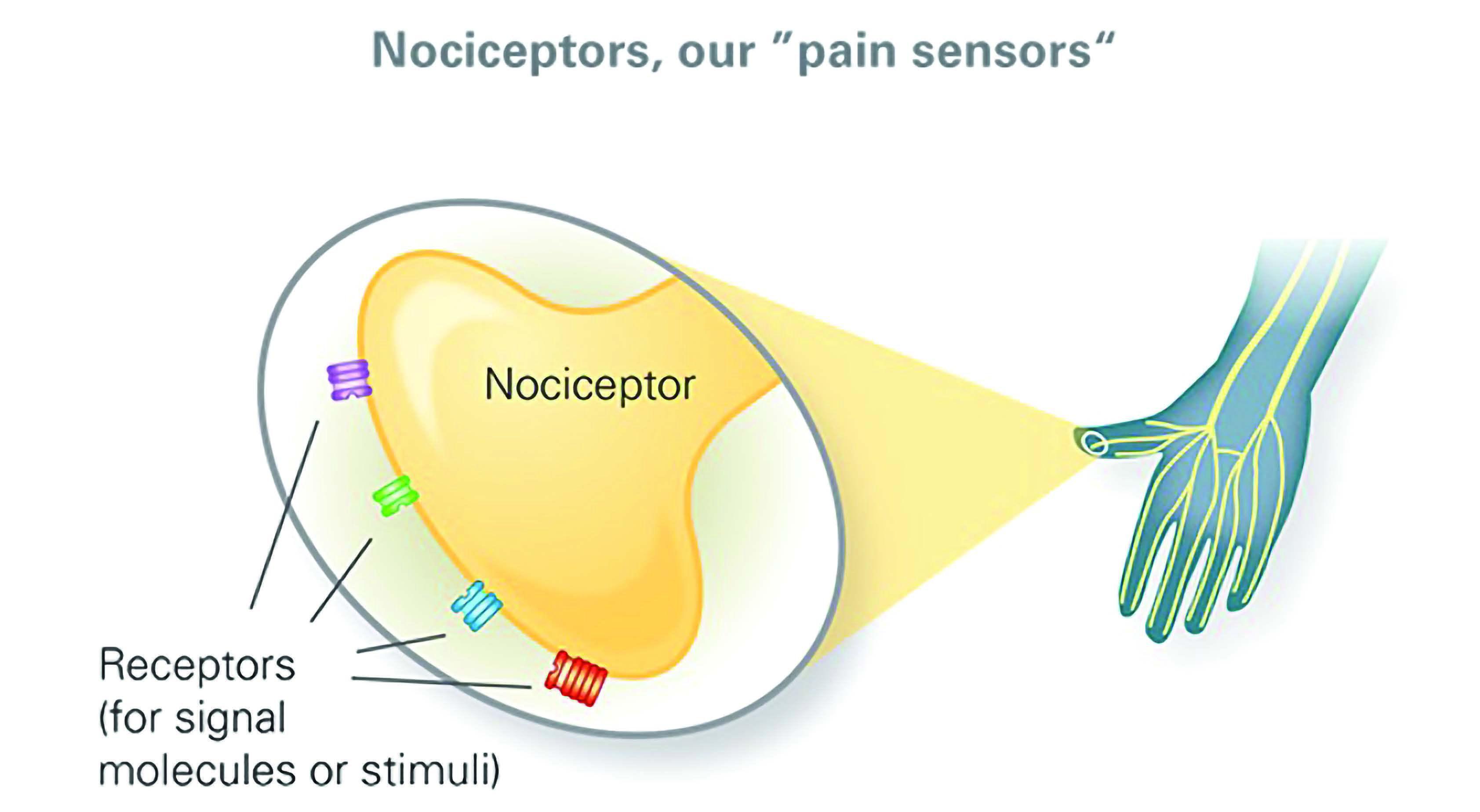 Создана модель сенсорного нейрона, участвующего в формировании боли