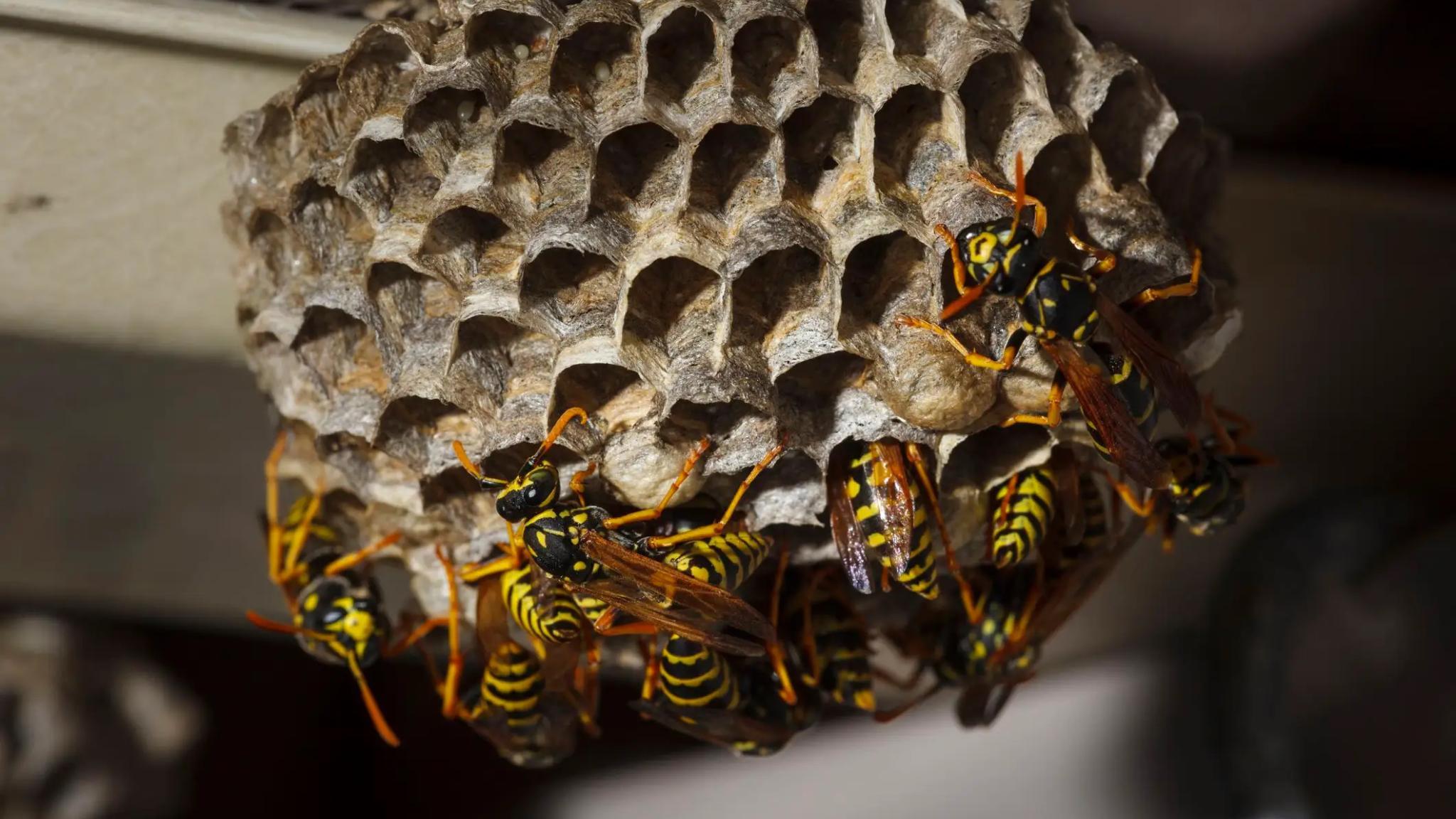 Тропические бумажные осы ухаживают за личинками соседей