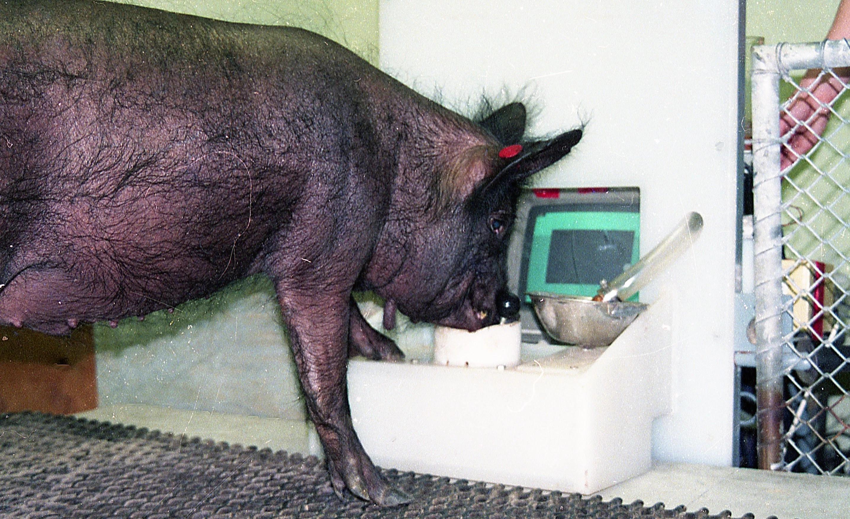 Свиней научили играть в компьютерные игры