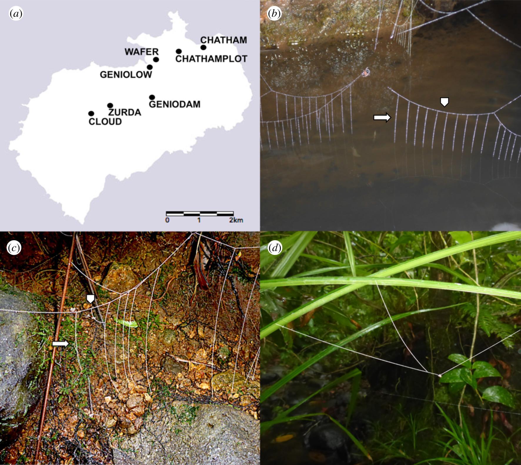 Пауки Wendilgarda galapagensis научились плести разные сети для охоты у воды и высоко над землей