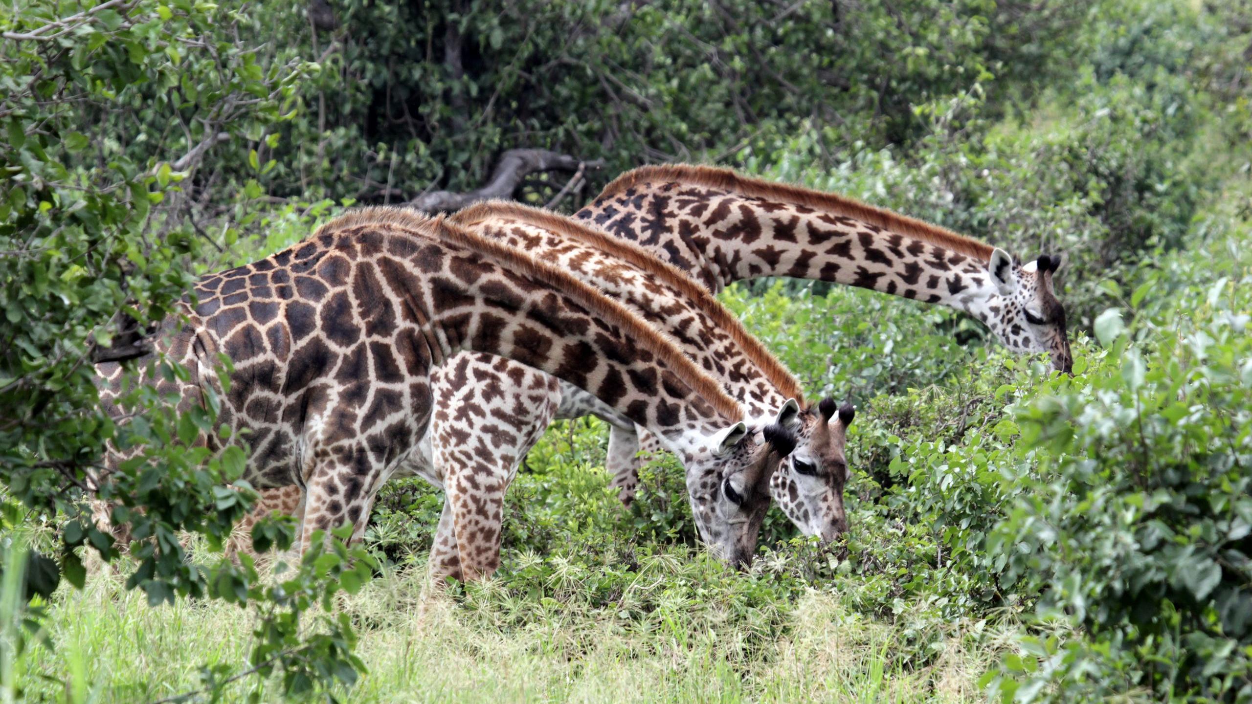 Более общительные самки жирафов живут дольше