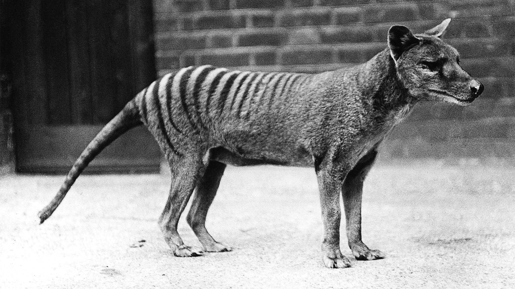 Зоологи допустили существование сумчатых волков в наши дни