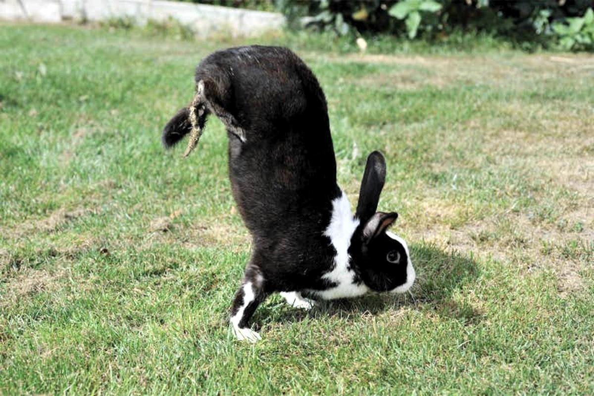 Биологи определили кроличий ген хождения на передних лапах