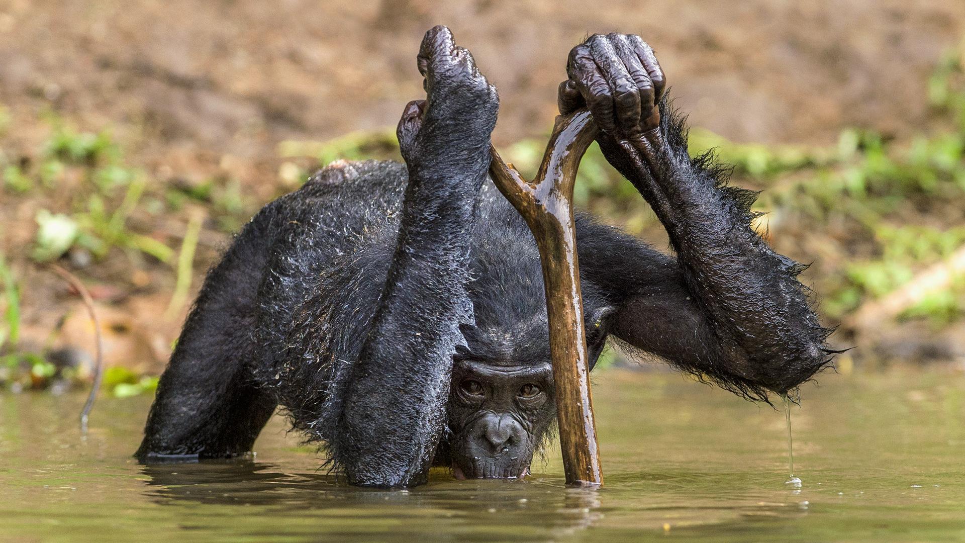 Эволюция людей отчасти может быть связана с более эффективным потреблением воды