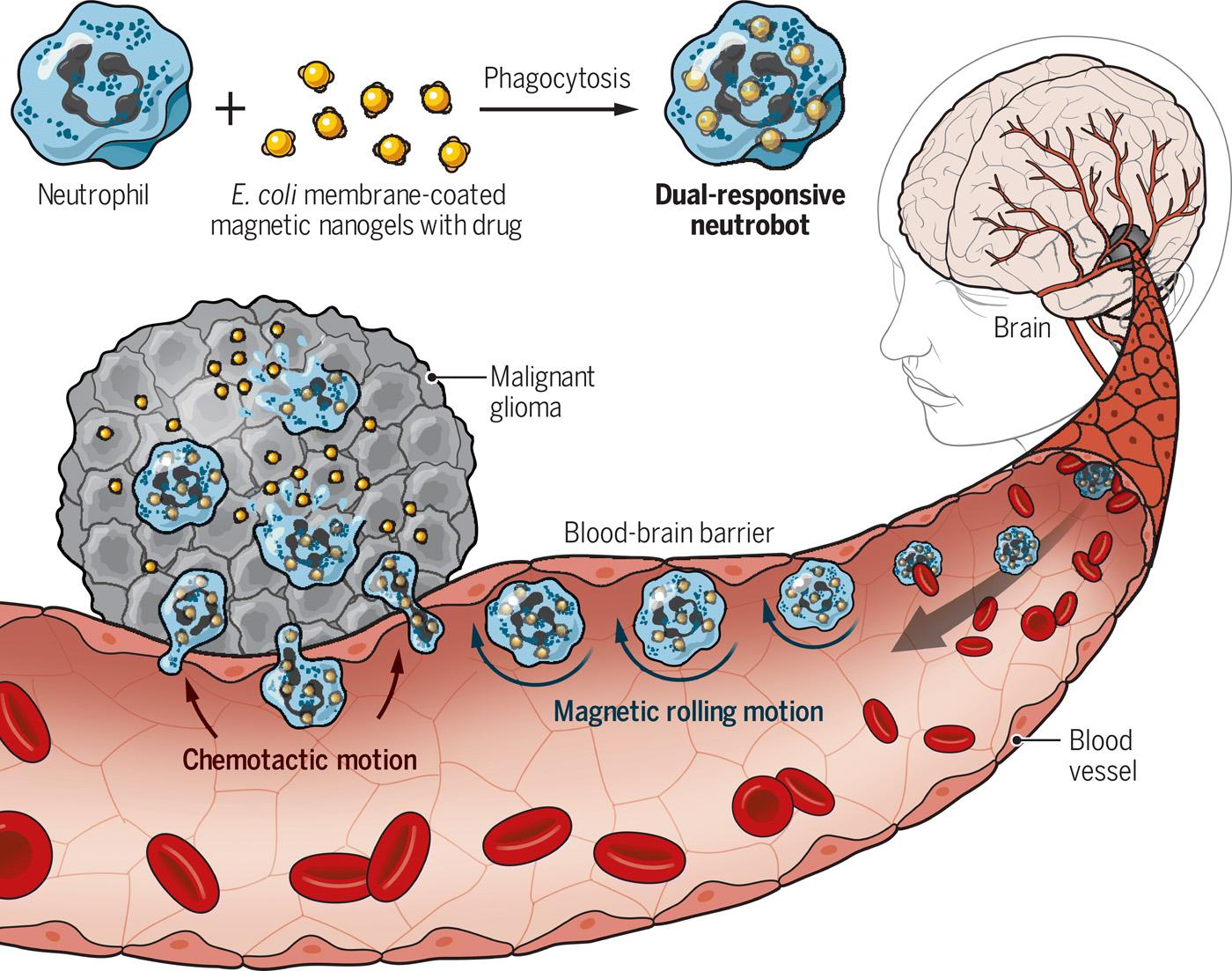 Ученые представили «нейтроботов» для доставки лекарств прямо в мозг