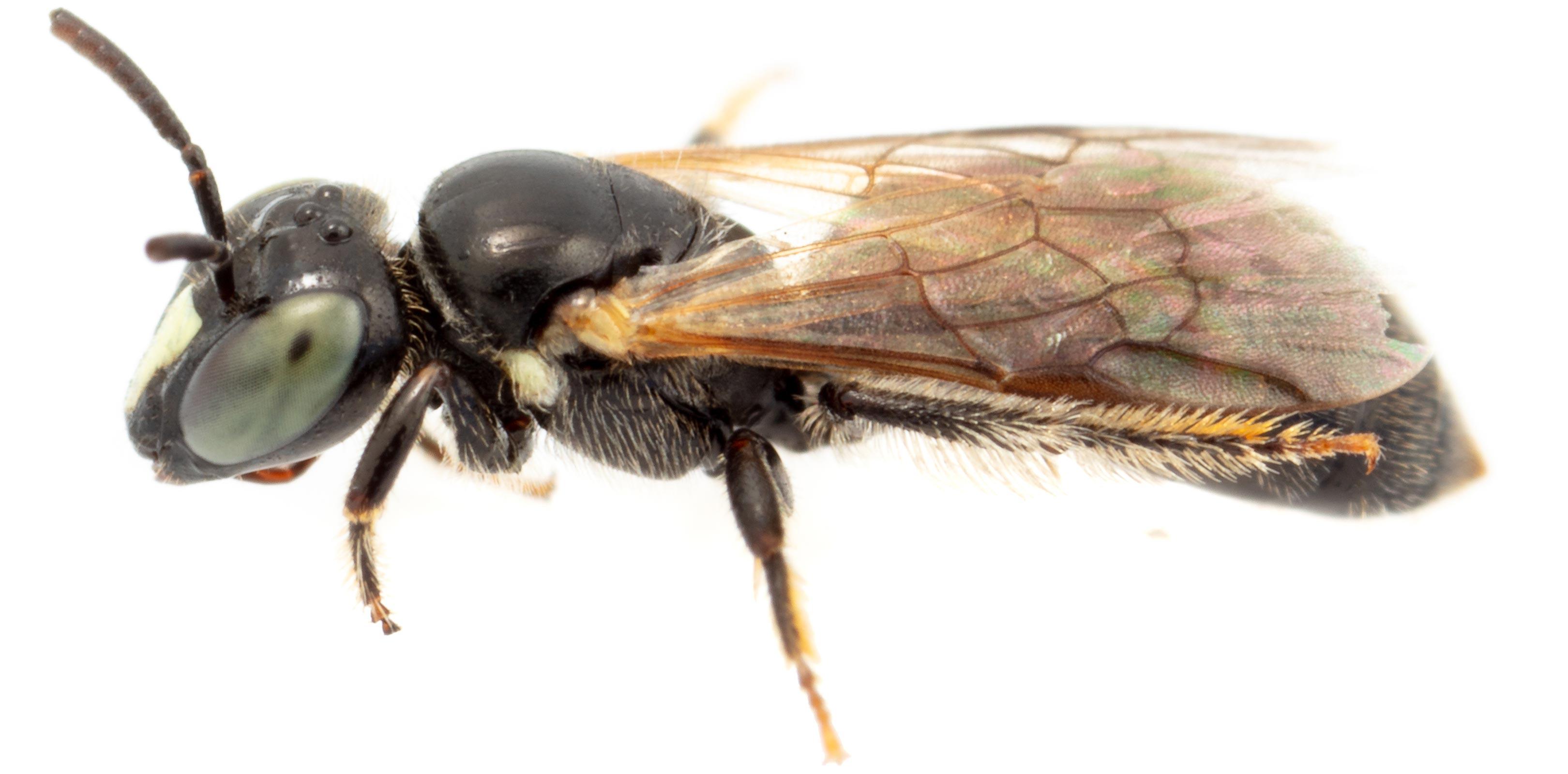 Австралийскую одиночную пчелу переоткрыли спустя сто лет