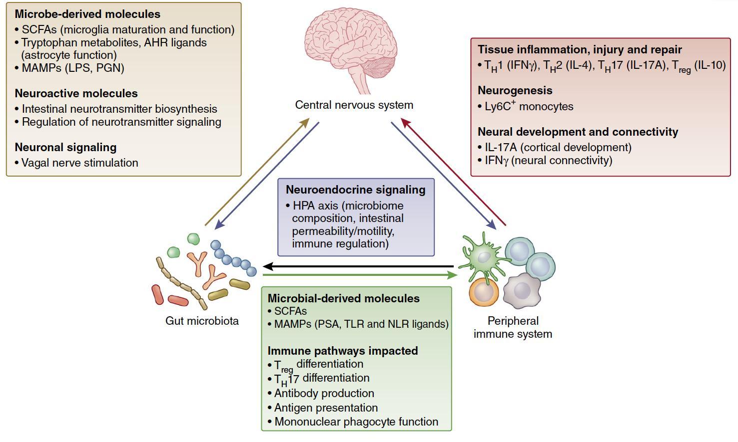 Мозг и кишечник: взаимовыгодное сотрудничество