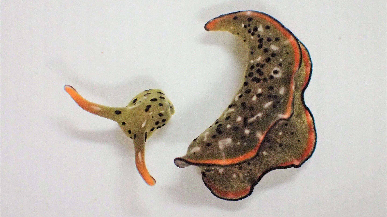 Морские слизни отращивают новое туловище на старой голове