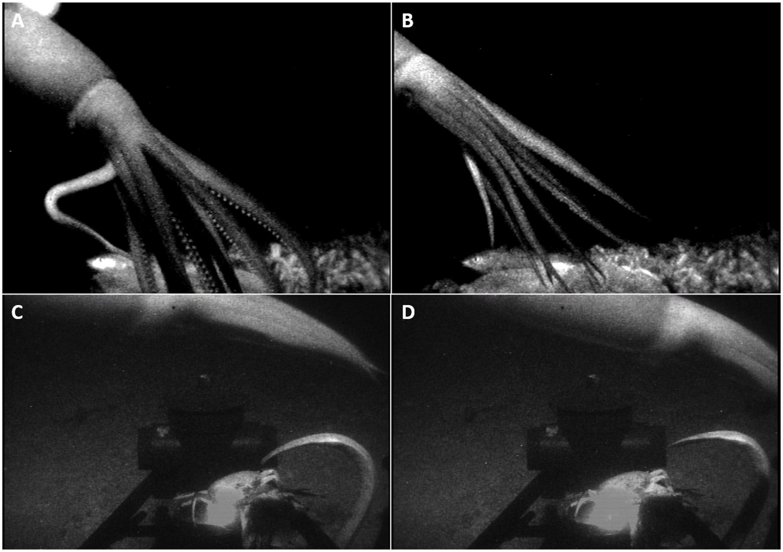 Биологи получили редкие кадры гигантских глубоководных кальмаров
