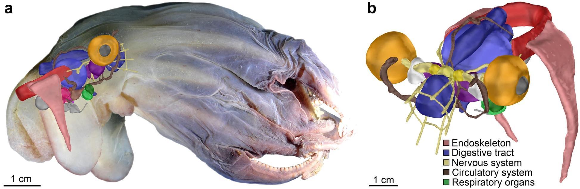 Новый вид осьминогов описали при помощи МРТ