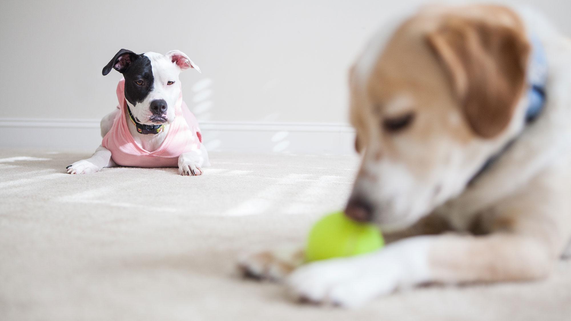 Эксперименты подтвердили способность собак ревновать