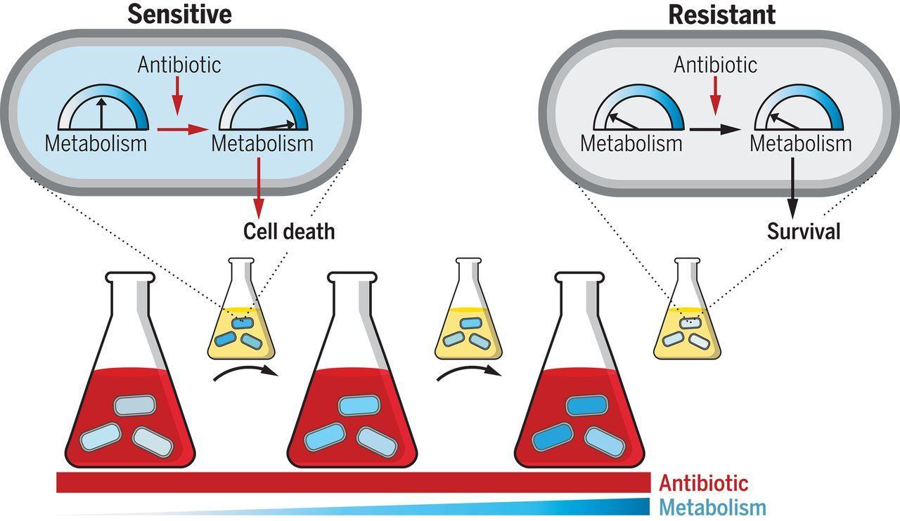 Мутации, связанные с изменением метаболической активности, помогают бактериям противостоять антибиотикам
