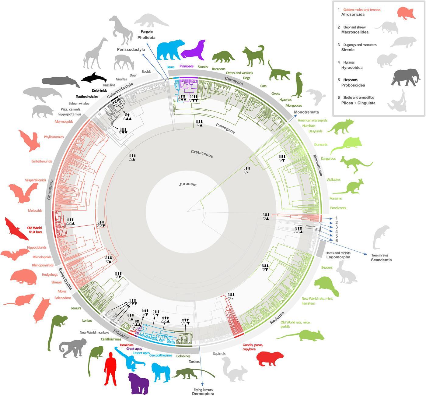 Биологи проследили изменения размеров мозга млекопитающих за 150 миллионов лет