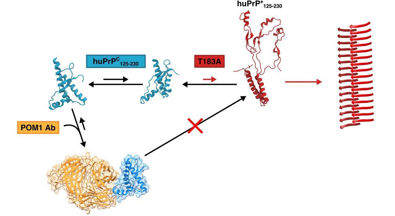 Нейробиологи впервые предотвратили трансформацию прионов в патогенную форму