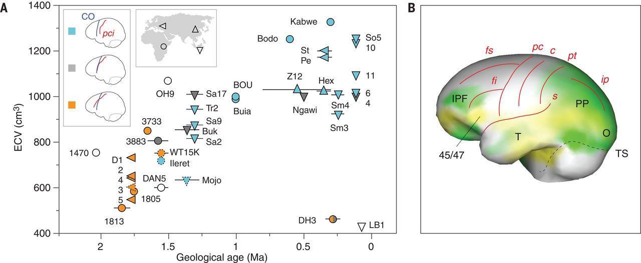 Устройство мозга древнейших людей оказалось ближе к обезьяньему