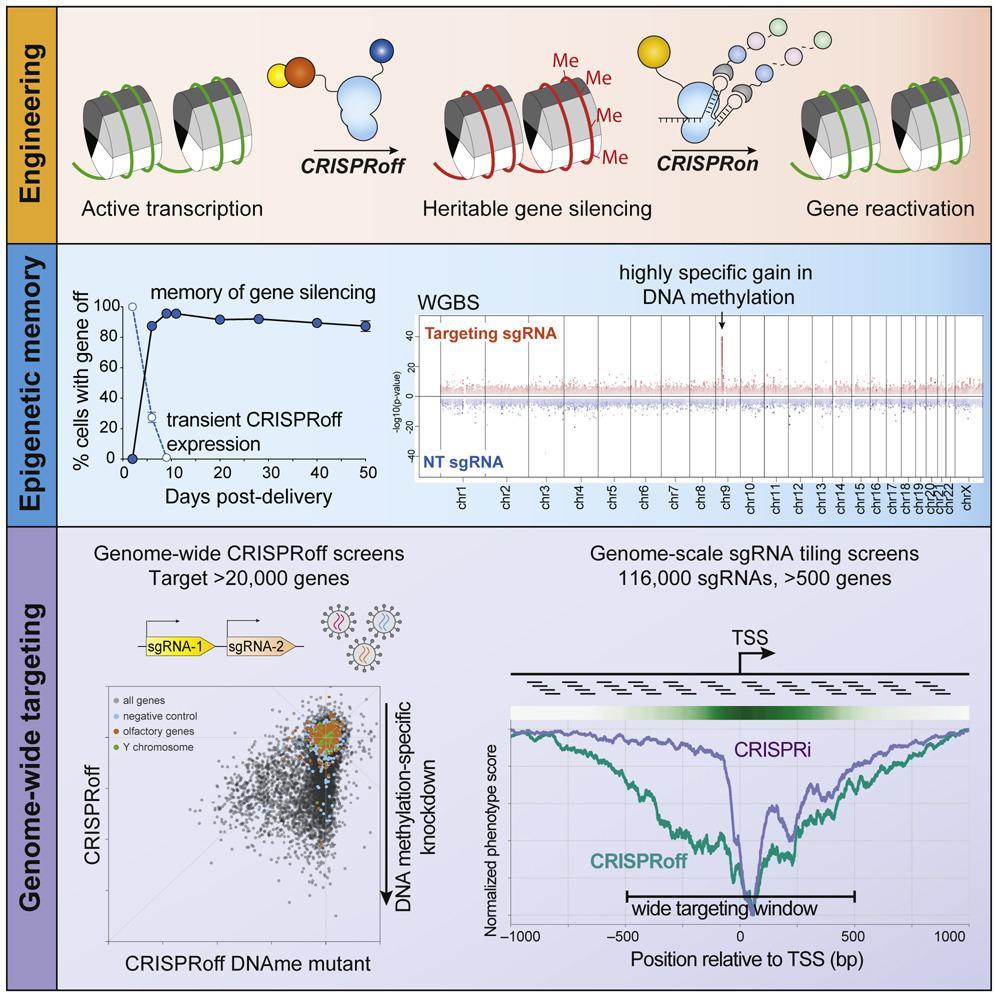 CRISPR-система внесла в эпигеном наследуемые изменения